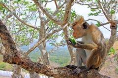 Toque-Makaken-Affe, Sri Lanka Stockbild