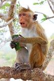 Toque-Makaken-Affe, Sri Lanka Stockbilder