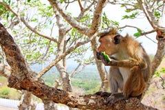 Toque-Makaken-Affe, Sri Lanka Stockfotografie