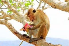 Toque-Makaken-Affe, Sri Lanka Lizenzfreie Stockfotos