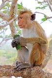 Toque-Makaken-Affe, Sri Lanka Stockfoto