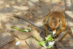 Toque-Makaken-Affe, Sri Lanka Stockfotos
