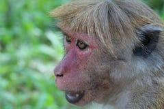 Toque-Makaken-Gesicht, Sri Lanka Stockbilder