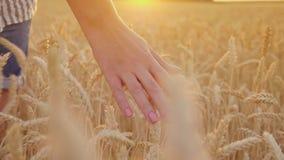 Toque nos spikelets do trigo no por do sol A mão fêmea afaga os spikelets maduros, tiro do steadicam video estoque