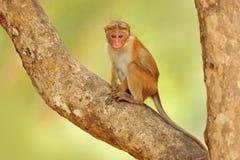Toquemacaque, Macacasinica Monkrey på trädet Macaque i naturlivsmiljön, Sri Lanka Detalj av apan, djurlivplats från Asi royaltyfri foto