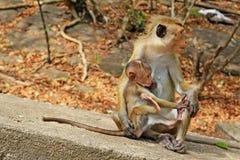Toquemakaken Affe-Familie, Sri Lanka Stockbilder