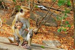 Toquemakaken Affe-Familie, Sri Lanka Lizenzfreies Stockfoto