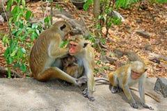 Toquemakaken Affe-Familie, Sri Lanka Stockfotografie
