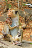 Toquemakaken Affe-Familie, Sri Lanka Stockbild