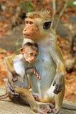 Toquemakaken Affe-Familie, Sri Lanka Lizenzfreie Stockfotografie