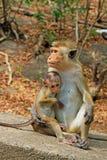 Toquemakaken Affe-Familie, Sri Lanka Lizenzfreie Stockfotos