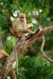 Toquemakaken, Macaca sinica Affe auf dem Baum, Fütterungsfrüchte Makaken im Naturlebensraum, Sri Lanka Detail des Affen, wild leb Stockfotos