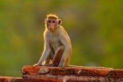 Toquemakaken, Macaca sinica, Affe mit Abendsonne Makaken im Naturlebensraum, Sri Lanka Detail des Affen, Widlife-Szene von Stockfotografie
