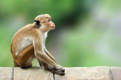 Toquemakaken, Macaca sinica Monkrey auf dem Baum Makaken in Na Stockbilder