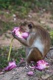 Toquemakaken /moneky, das Blume, Sri Lanka isst Lizenzfreie Stockbilder