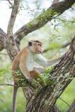Toquemakakenaffe, der auf einem Baum im natürlichen Lebensraum im Sr sitzt Lizenzfreies Stockfoto