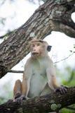 Toquemakakenaffe, der auf einem Baum im natürlichen Lebensraum im Sr sitzt Lizenzfreie Stockfotografie