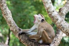 Toquemakakenaffe, der auf einem Baum im natürlichen Lebensraum im Sr sitzt Stockbild