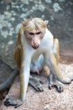 Toquemakakenaffe, der auf einem Felsenmonument im Tempel in Sri sitzt Lizenzfreies Stockfoto