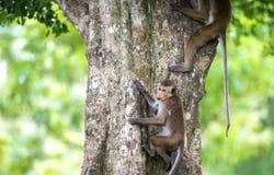 Toquemakakenaffe, der einen Baum im natürlichen Lebensraum in Sri klettert Stockfotografie
