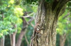 Toquemakakenaffe, der einen Baum im natürlichen Lebensraum in Sri klettert Stockbild