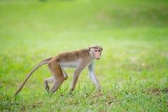 Toquemakakenaffe in einem Park in Sri Lanka Stockbilder