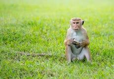 Toquemakakenaffe in einem Park in Sri Lanka Lizenzfreie Stockfotos