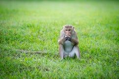 Toquemakakenaffe in einem Park in Sri Lanka Lizenzfreies Stockfoto