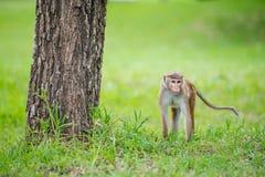Toquemakakenaffe in einem Park in Sri Lanka Stockfoto