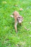 Toquemakakenaffebaby im natürlichen Lebensraum in Sri Lanka Lizenzfreie Stockbilder