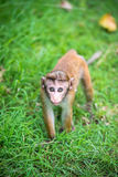 Toquemakakenaffebaby im natürlichen Lebensraum in Sri Lanka Lizenzfreies Stockbild