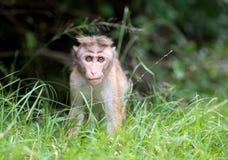 Toquemakakenaffebaby im natürlichen Lebensraum in Sri Lanka Stockfoto