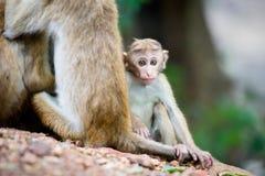 Toquemakakenaffebaby im natürlichen Lebensraum in Sri Lanka Stockfotos