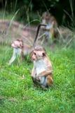 Toquemakakenaffebabys im natürlichen Lebensraum in Sri Lanka Lizenzfreie Stockfotos