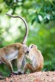 Toquemakakenaffen, die Läuse in Sri Lanka auswählen Lizenzfreies Stockbild