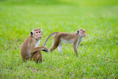 Toquemakakenaffen in einem Park in Sri Lanka Lizenzfreies Stockfoto