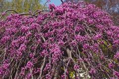Torção da alfazema que chora a árvore do redbud na flor imagem de stock