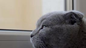 Torções do gato de Grey Scottish que olham a metragem do someware filme