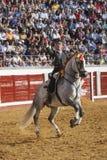 Toréador espagnol à cheval Leonardo Hernandez mettant les banderillas de taureau à Pozoblanco Image libre de droits