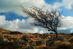 Tor azotado por el viento Dartmoor Devon de Belstone del árbol Foto de archivo libre de regalías