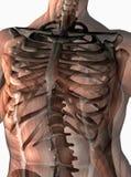 Torace umano anatomico Fotografia Stock Libera da Diritti