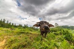 Toraja buffalo Royalty Free Stock Image