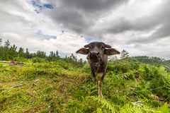 Toraja buffalo Stock Photo
