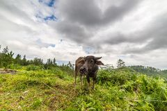 Toraja buffalo Stock Image