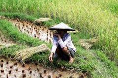 Toraja farmer. A toraja old farmer is working in a rice field in sulawesi island. July 2008 Stock Image