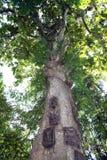 Torajaboom stock afbeeldingen