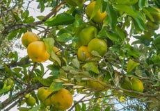 Toranja madura em uma árvore Imagem de Stock Royalty Free