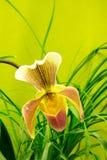 Torbacz piękna orchidea Zdjęcie Stock