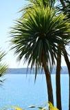 Torbay Palm Stock Image