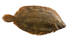 Torbay sole. Or witch flounder (Glyptocephalus cynoglossus) isolated on white Royalty Free Stock Images